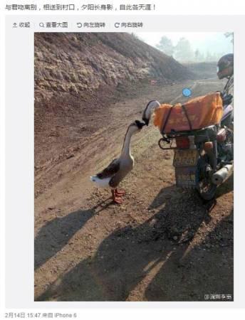 """網友""""@深圳李寬""""在微博上發出兩隻鵝""""親吻""""的圖片,配文""""與君吻離別,相送到村口,夕陽長身影,自此各天涯!""""這條微博被瘋狂轉發。(取自微博)"""