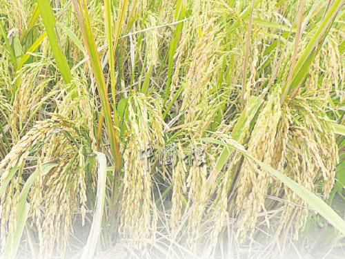 大地將旭陽灑下的萬道金光,深深地在黑土下埋藏,趁稻穗成熟的時候,再把金光嵌在豐滿的稻穗上。 (文:何乃健)