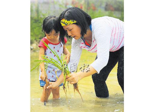 媽媽教孩子用已將近失傳的傳統古老工具kuku kambing插秧。