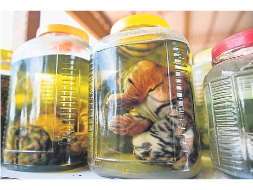 官員在老虎廟搜查到的浸泡在化學藥劑中的老虎幼崽。(新華社)