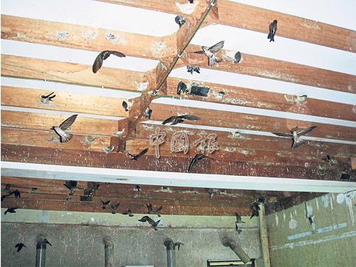 天氣炎熱,燕子因昆蟲減少面對覓食問題。(檔案照)