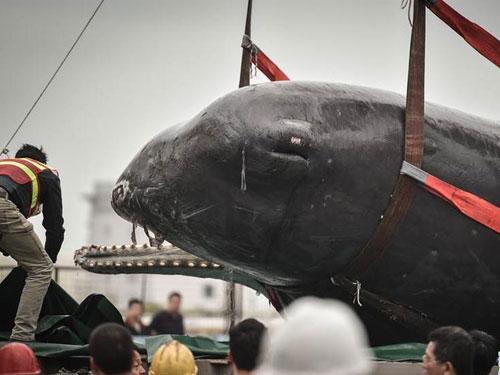 抹香鯨牙齒上還掛有一些漁網線,嘴巴有大量塑料袋。圖:新華網