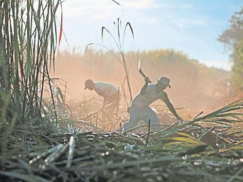男子在尼加拉瓜的甘蔗田工作。