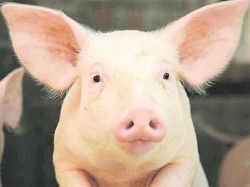 豬的器官可救人 。(資料圖)