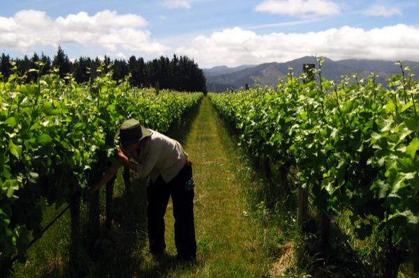 紐西蘭週三頒布新規定,加強限制技術移民和工作簽證。圖為一名農人在田裡工作。(互聯網)