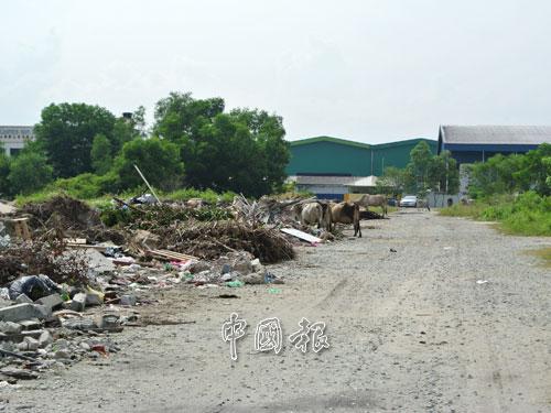 牛群在怡保第二孟加蘭工業區(家具村)蹓躂。