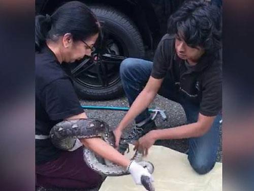男子扯出蟒蛇後,一旁的同事幫忙把蟒蛇制伏。