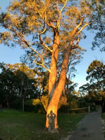 李顯龍分享了自己在澳洲阿德萊德所到的一棵高大的樹。