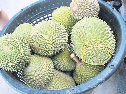 一籮35公斤貓山王榴槤,收購價約1500令吉,零售價則需2500令吉以上。
