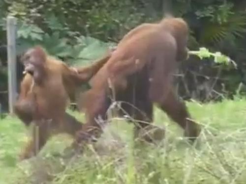 猩猩寶寶不停回頭觀望,不捨得離開遊樂園。