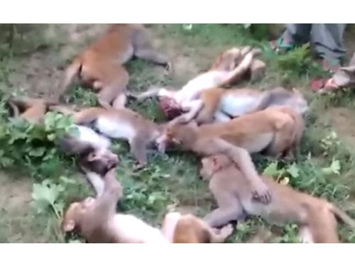 印度北部農民在一座森林清理出12具猴屍。