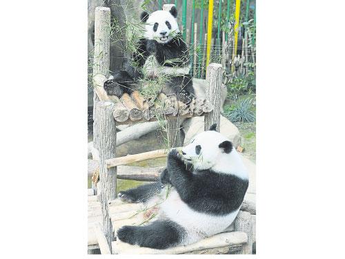 """小熊貓暖暖(上)很黏母親,靚靚(下)有時見不到女兒,還會""""鬧脾氣""""不進食。"""