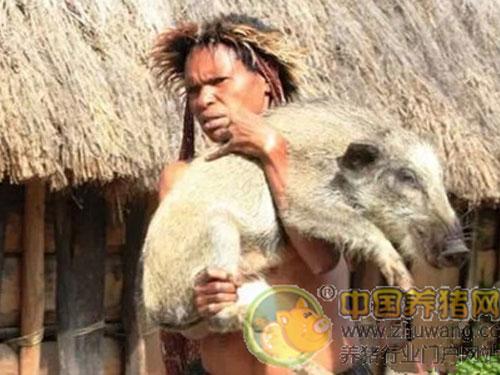 印尼巴布亞省的部落仍奉行以5隻豬換妻子的風俗。圖:中國養豬網