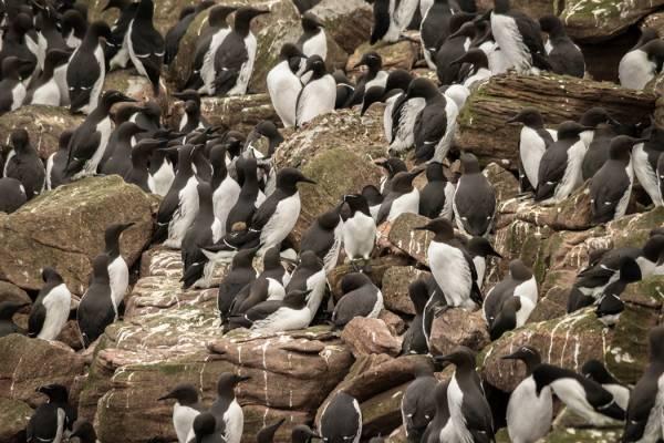 Handa_guillemots_-_please_credit_Danni_Thompson_Scottish_Wildlife_Trust_1041185632