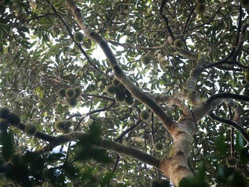 叢林裡的甘榜榴槤味道濃郁,苦中帶甜。