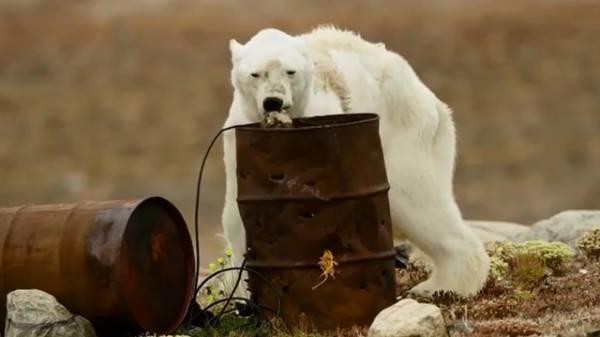 一頭北極熊因缺乏食物而瀕臨餓死。(互聯網)