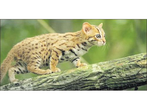 世界上體型最小的貓科動物,就是鏽斑豹貓。(互聯網)