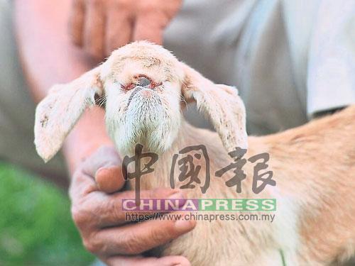 眼睛生在額頭中間的獨眼羊。