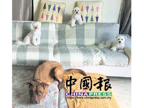 Elaine家的四位汪星同伴:(前)妹妹 、(后左起)Junior、GioGio和BeeBoy。