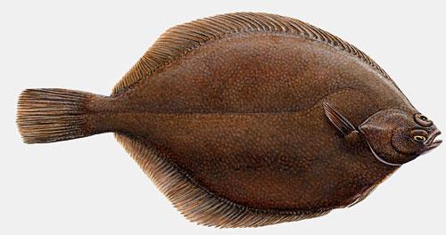 fn2702flatfish