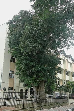 馬來西亞第一棵橡膠樹至今仍屹立在江沙土地及礦物局前面。