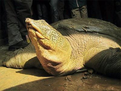 ■在宣漢湖確認有斑鱉個體前,棲息在越南東莫湖的斑鱉被認為是唯一一隻野生斑鱉。