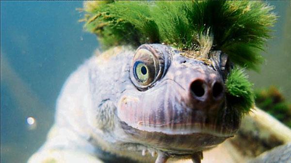 """澳洲一隻""""隱龜""""頭上長了藻類,看似獨特的綠色搖滾龐克頭造型。(推特)"""
