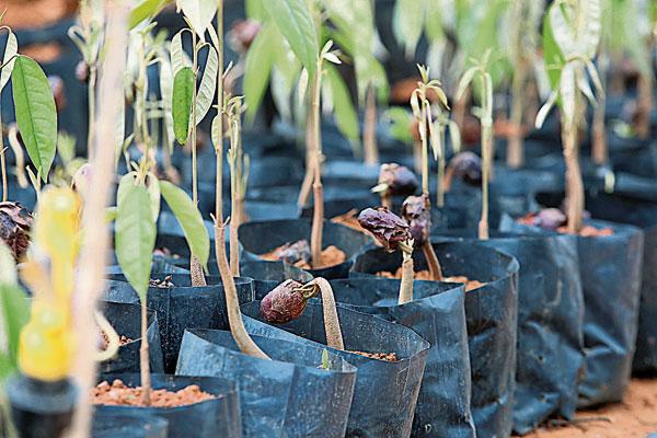 榴槤樹的樹苗在進行駁枝后,就可進行種植。
