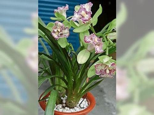 這就是中國培植的新品種蘭花,陳老的收藏品尚未命名呢!