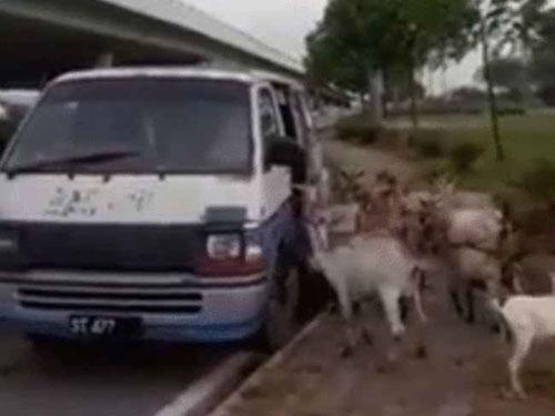 莫哈末阿敏的羊群吃飽後會有秩序的上車回家。