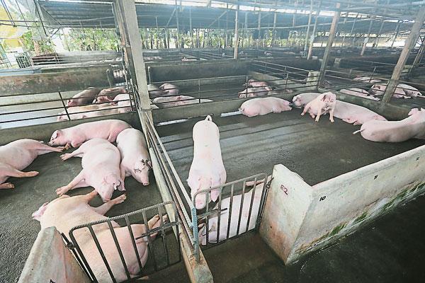 諾依占建議建集中養豬中心,有望解決長久以來養豬所引起的問題。