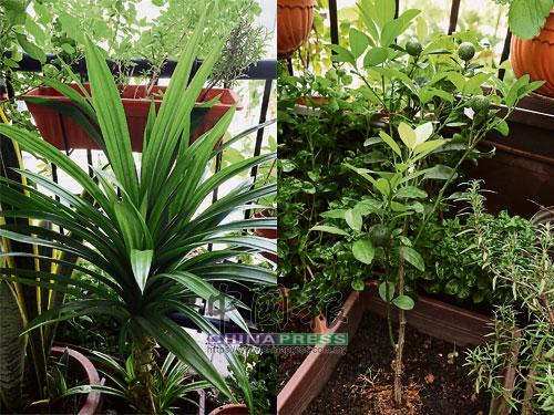 左:班蘭葉常使用在我們的日常飲食中,為美食增添風味。 右:小小的盆栽種了小小的桔子樹,卻絲毫沒有辜負主人對它的照顧,結了一樹的桔子。