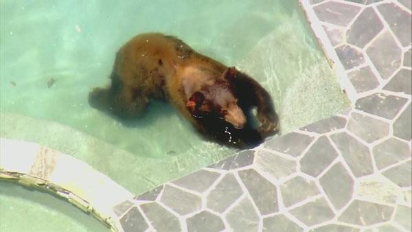 黑熊悠閒地在泳池內泡水消暑,卻是嚇壞旁人。