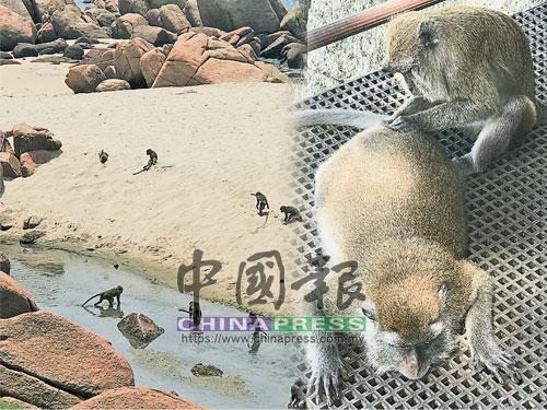 大猴帶一群幼猴在淺水區戲水和跳水。