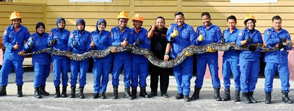 豐盛港民防部隊擒獲至今最大條的蟒蛇。(取自網絡)