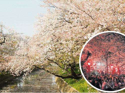 在日本,櫻花一般可以到公園或河堤旁欣賞。河堤旁的櫻花樹,其實是為了護堤作用。夜晚賞櫻又是不一樣的風景。