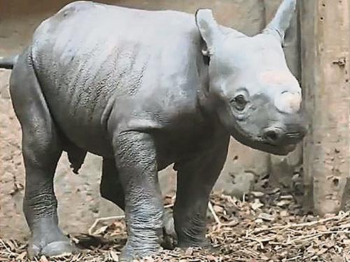 切斯特動物園內的犀牛寶寶,萌樣讓網友大讚。