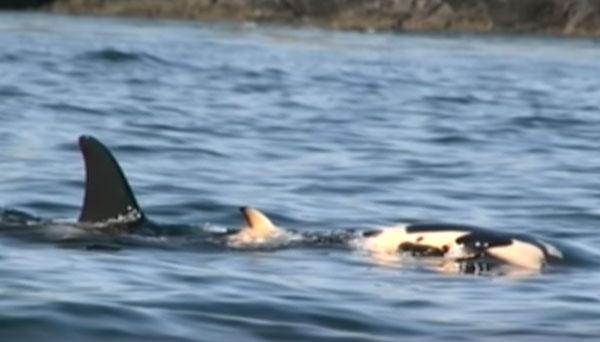 母鯨用前額頂住幼鯨屍體的畫面。