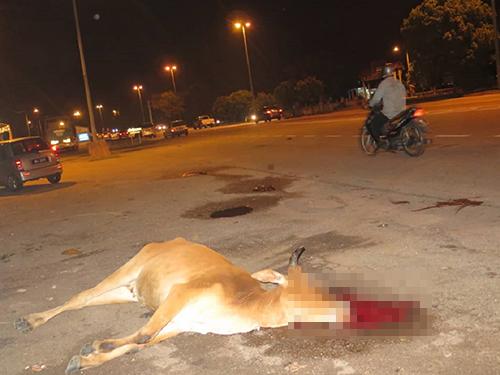 牛被撞死在路中,引起交通阻塞。