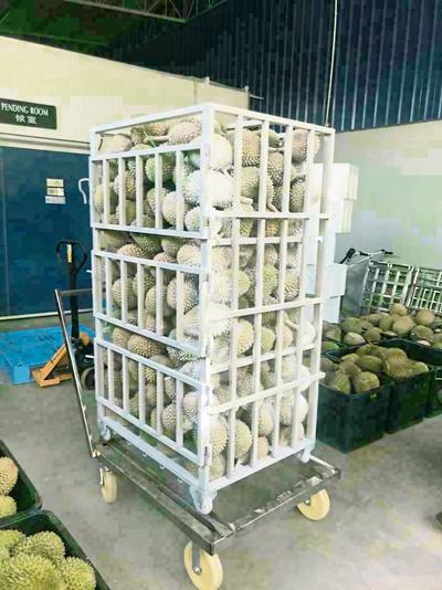 MBI集團首批出口至中國的原顆榴槤,量達13噸。  (榴槤照片由MBI集團提供)