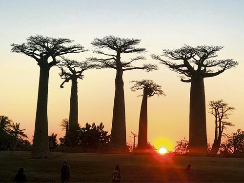 麵包樹大道與夕陽,相映成趣。