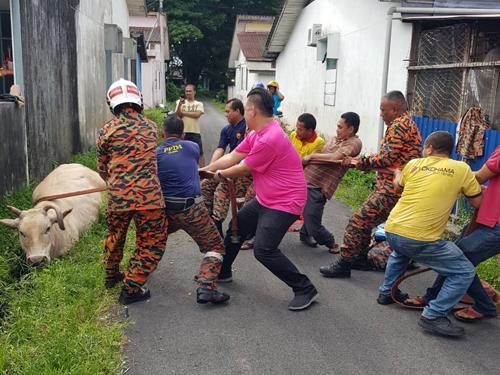 哥打峇魯消拯員聯同民眾,合力把掉入溝渠的懷孕母牛救起!