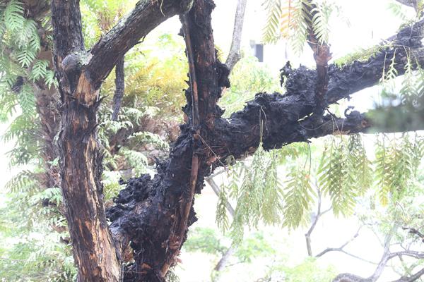事发后,老树的主树干和分叉枝丫都被烧焦。