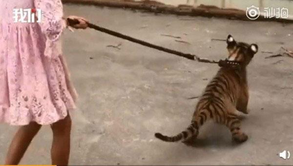 9岁小女孩在动物园的园区内,遛着3个月大的老虎。