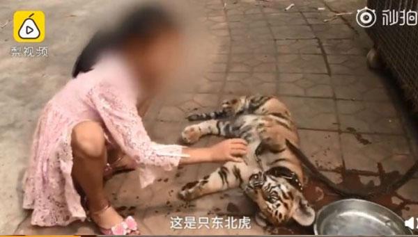 小女孩自小老虎出生后就一直陪伴在它身边,和小老虎的感情融洽。