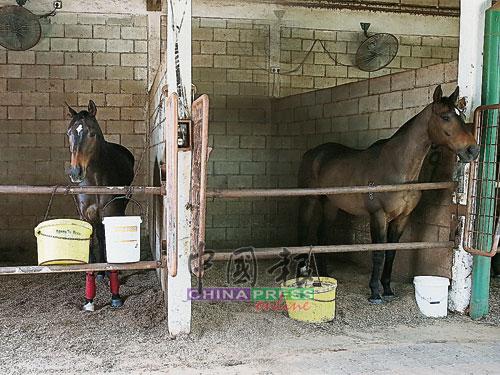 莱因斯有5个马厩,训练的马匹多达七八十匹,工作团队约45人,其中有副练马师、操练骑师、马厩主管、行政人员等,各司其职,平均一个人照料3匹马。图中被安置在此主马厩的,是即将上赛道比赛的马匹。