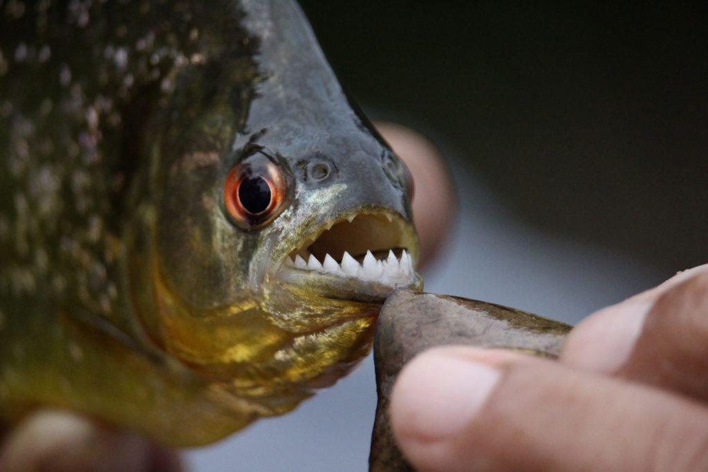 朝鲜领导人金正恩最近为处决一名将军,下令将他丢入装满食人鱼的水池里。