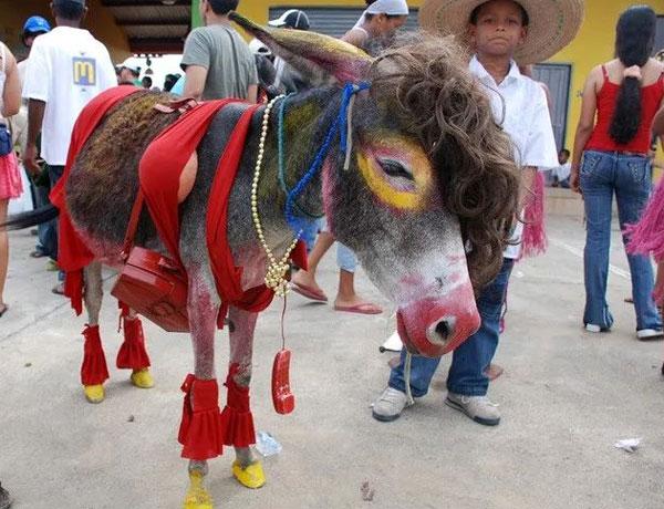每逢过节,当地的男男女女聚在一起,为一些母驴盛装打扮起来,仿佛待嫁的新娘。