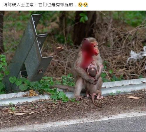 网友呼吁驾车人士小心,不要撞伤无辜的猴子。