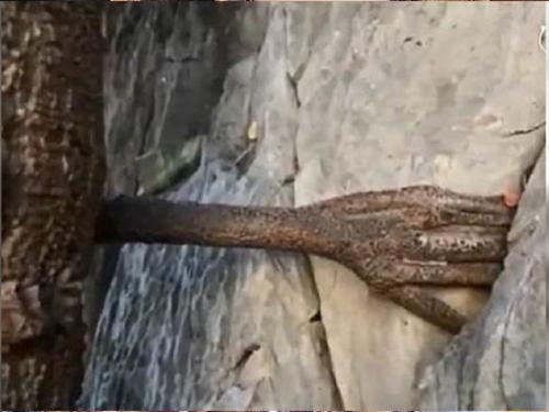 """3000年老菩提树长出的""""佛手""""。"""